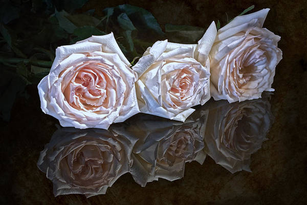White Rose Photograph - Three Roses Still Life by Tom Mc Nemar