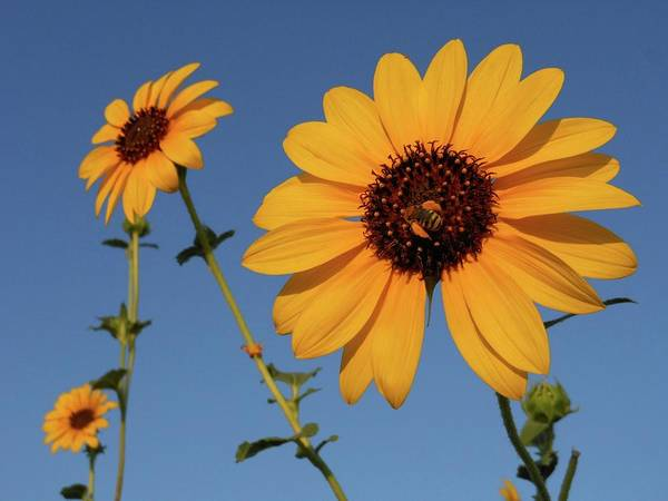 Photograph - Three Sunflowers And Bee by Don Kreuter
