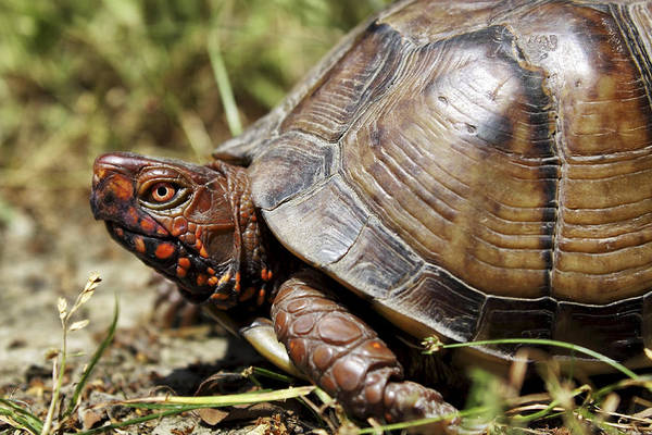 Photograph - Three Toed Box Turtle by Jason Politte