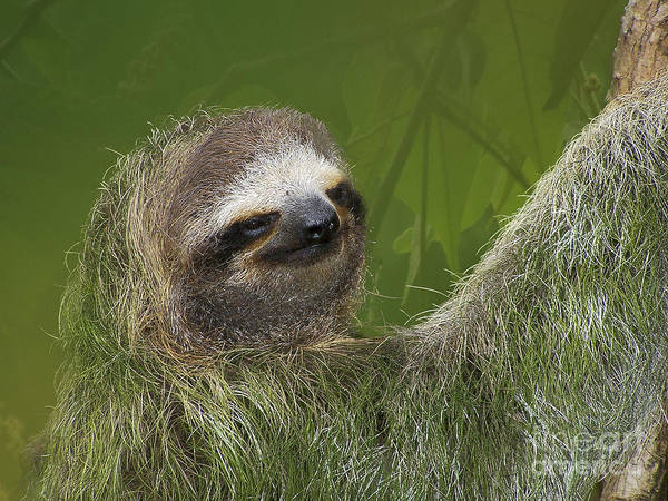 Photograph - Three-toed Sloth by Heiko Koehrer-Wagner