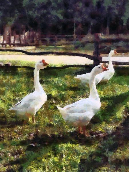 Photograph - Three White Geese by Susan Savad