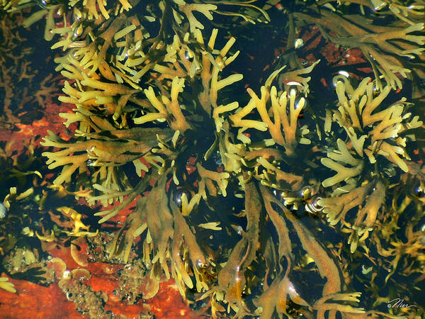Photograph - Tide Pool by Nancy Griswold