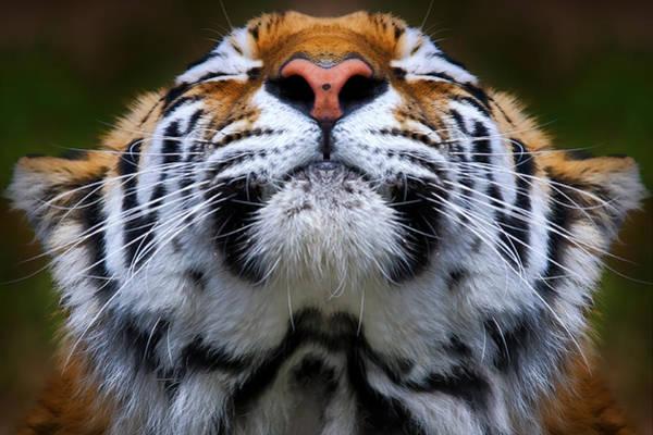 Photograph - Tiger 1  by Emmanuel Panagiotakis