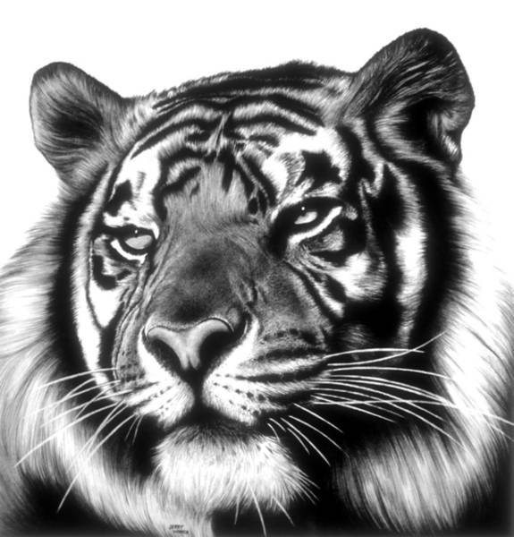 White Tiger Drawing - Tiger Face by Jerry Winick