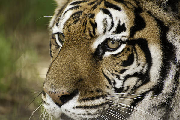 Photograph - Tiger Face by Melany Sarafis