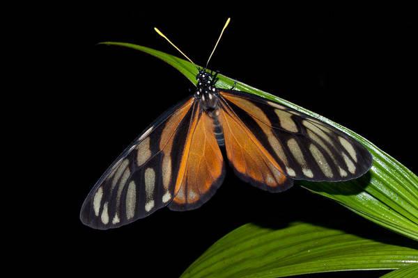 Photograph - Tiger Isabella by Craig Ratcliffe