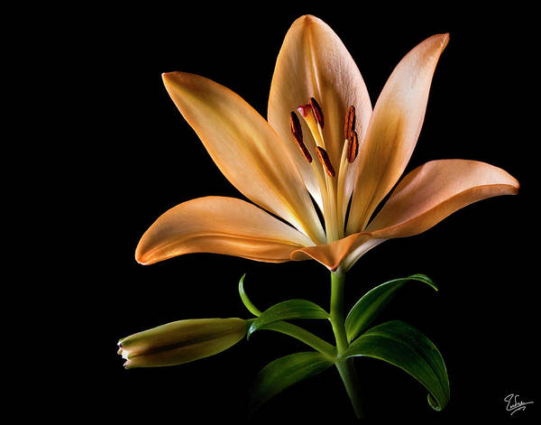 Photograph - Tiger Lily by Endre Balogh
