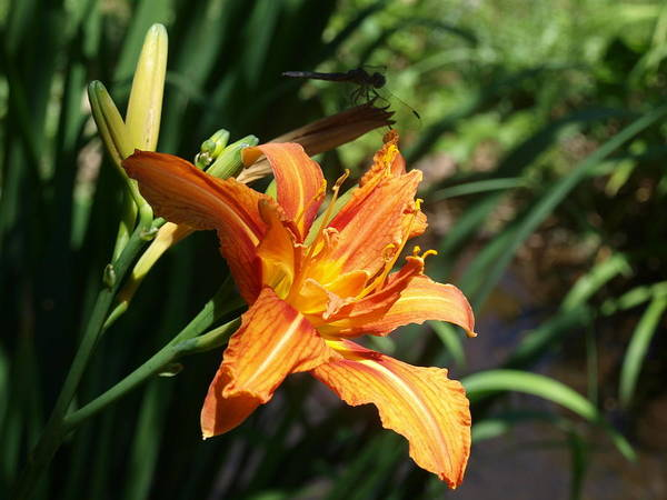 Wall Art - Photograph - Tiger Lily With Dragonfly In Background by Frank Piercy