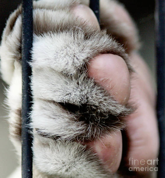 Photograph - Tiger Paw by Pam  Holdsworth