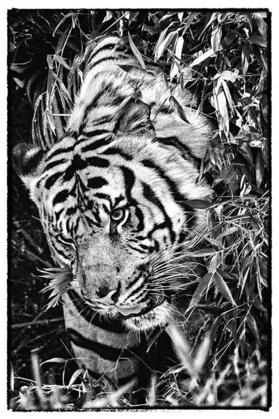 Photograph - Tiger by Perla Copernik