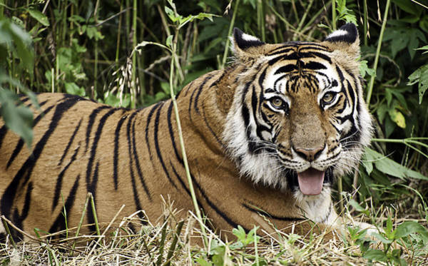 Photograph - Tiger Portrait by Melany Sarafis