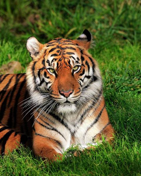 Photograph - Tiger Sitting In The Grass by Bill Dodsworth