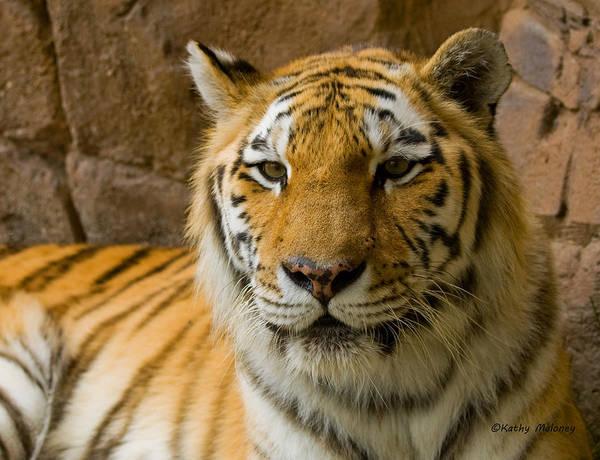 Photograph - Tiger Stripes by Kathy Maloney