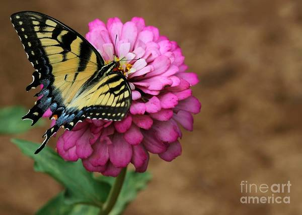 Photograph - Tiger Swallowtail On A Pink Zinnia by Sabrina L Ryan
