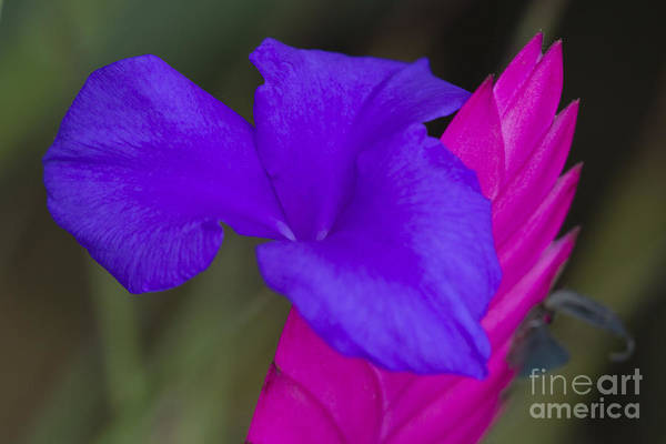 Bromelia Photograph - Tillandsia Cyanea by Heiko Koehrer-Wagner