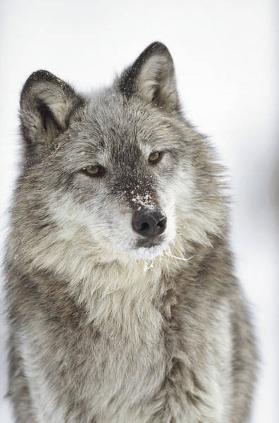 Photograph - Timber Wolf Canis Lupus Portrait by Tim Fitzharris