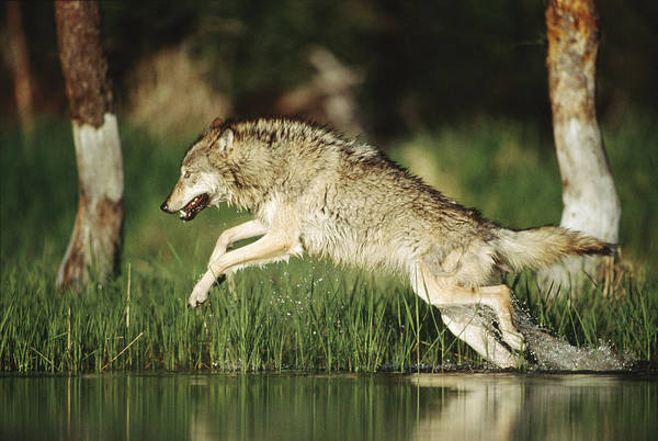 Wall Art - Photograph - Timber Wolf Running Through Shallow by Tim Fitzharris