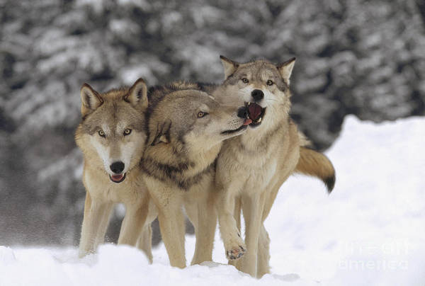 Wall Art - Photograph - Timber Wolf Trio Playing In Snow Montana by Tim Fitzharris
