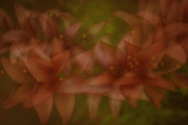 Photograph - Tiny Ghost Lily by Sherri Meyer