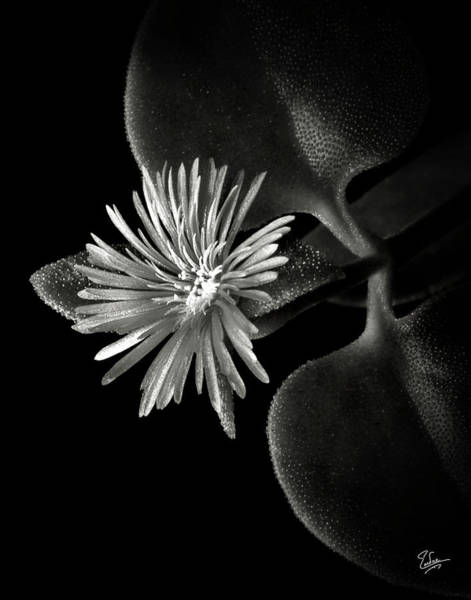 Photograph - Tiny Ice Plant In Black And White by Endre Balogh