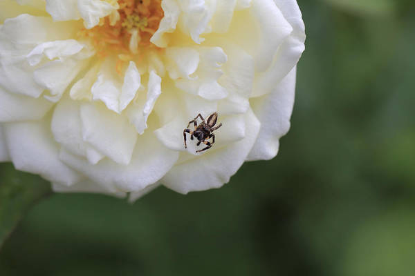Wall Art - Photograph - Tiny Spider  by Douglas Barnard