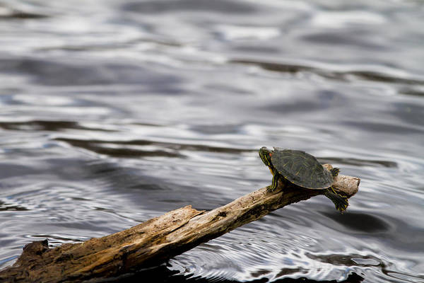 Photograph - Tiny Turtle by Jason Smith