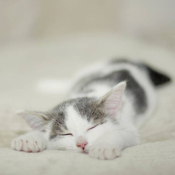 Lying Down Photograph - Tiny White And Grey Kitten Sleeping On The Couch by Cindy Prins