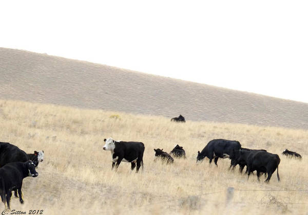 Photograph - Tipping Cows by C Sitton