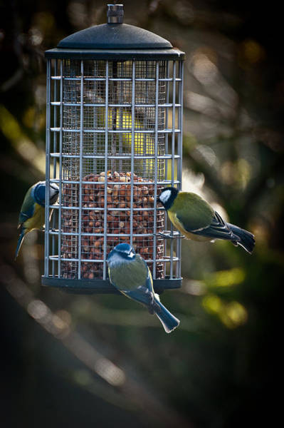 Photograph - Tits At Teatime by Chris Boulton