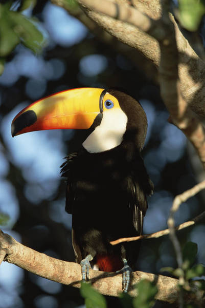 Ramphastidae Photograph - Toco Toucan Ramphastos Toco Perching by Konrad Wothe