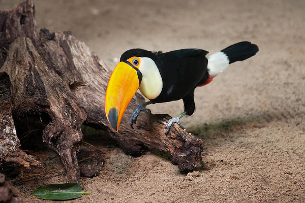 Ramphastidae Photograph - Toco Toucan Sitting On Tree Trunk by Artur Bogacki