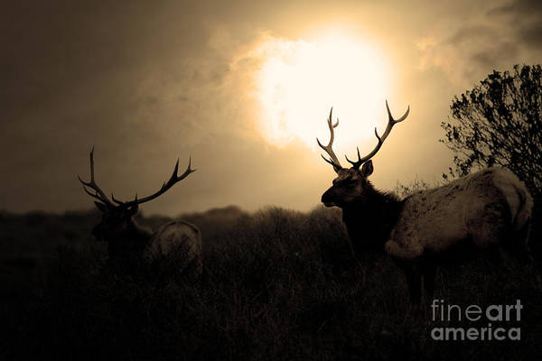Photograph - Tomales Bay California Tule Elks At Sunrise . Golden . 7d4402 by Wingsdomain Art and Photography