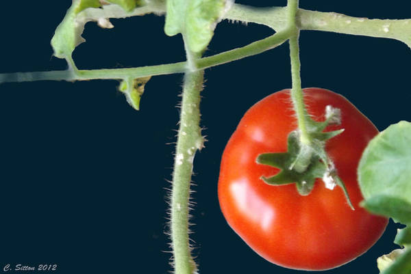 Photograph - Tomato 2 by C Sitton