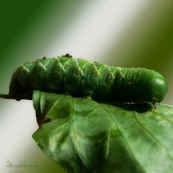 Photograph - Tomato Horn Worm by Ericamaxine Price