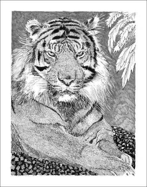 Bengal Tiger Drawing - Tiger by Jack Pumphrey