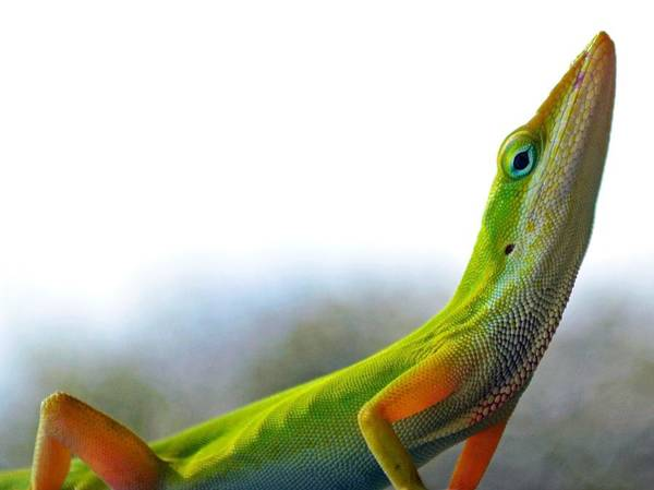 Green Anole Photograph - Too Good For You by Melanie Moraga