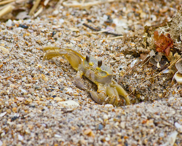 Critters Photograph - Topsail Ghost Crab by Betsy Knapp