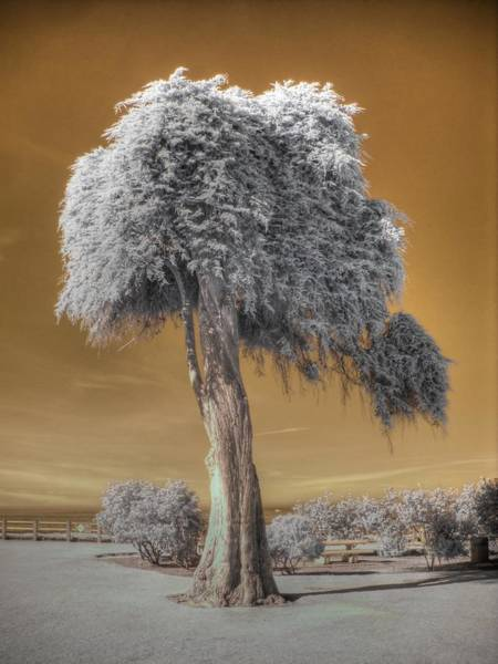 Linder Wall Art - Photograph - Torrey Pine by Jane Linders