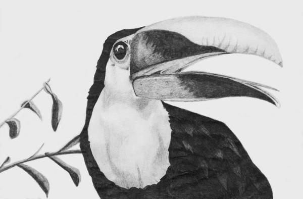 Coolidge Drawing - Toucan by Sara Coolidge