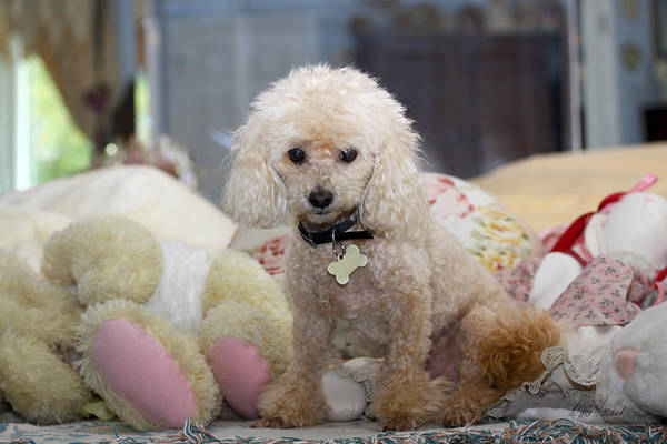 Photograph - Toy Poodle by Diana Haronis