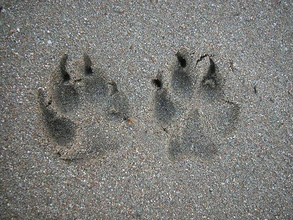 Wall Art - Photograph - Tracks Of Dog In Sand by Na