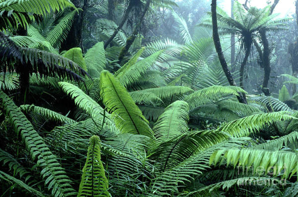 Photograph - Tree Ferns El Yunque National Forest by Thomas R Fletcher