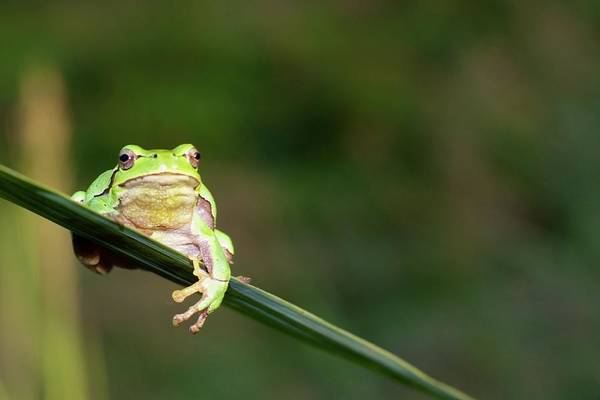 In Focus Wall Art - Photograph - Tree Frog by Aaa