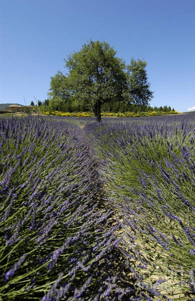 Complementary Colours Photograph - Tree In A Field Of Lavender. Provence by Bernard Jaubert