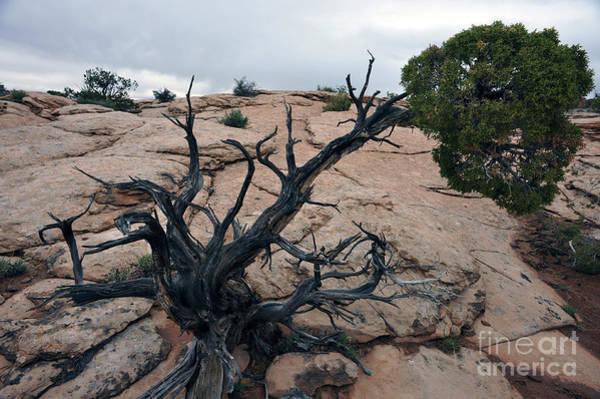 Photograph - Tree In Rock by Dan Friend