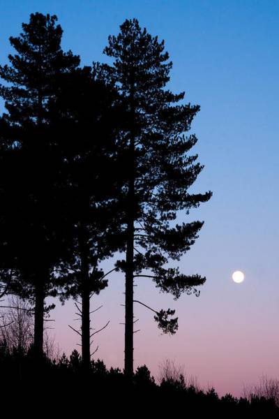 Coniferous Tree Photograph - Tree Silhouette by Tom Gowanlock