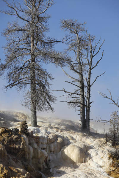 Yellowstone Caldera Photograph - Trees In Sinter Terraces Near Palette by Richard Roscoe