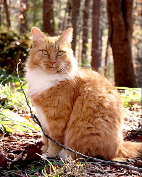 Manx Cat Wall Art - Photograph - Trey In The Woods by Kathleen Horner