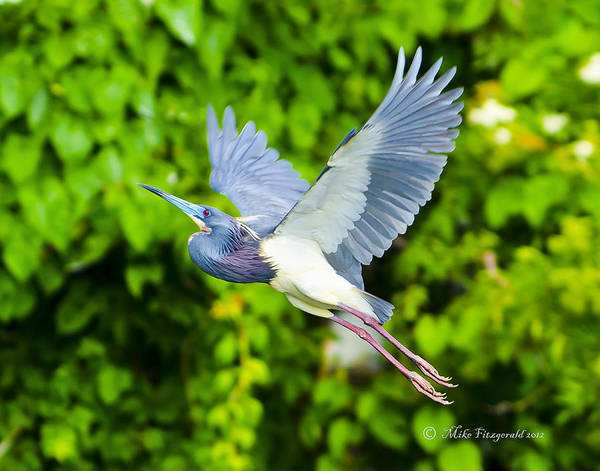 Photograph - Tri-color In Flight by Mike Fitzgerald