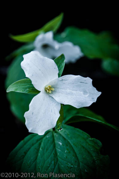 Wall Art - Photograph - Trillium by Ron Plasencia
